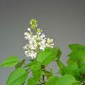 Flieder, Syringa vulgaris, Blüte, Bonsai-Solitär