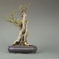 Flieder, Syringa vulgaris, Bonsai, bonsai-hassler