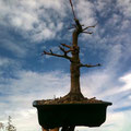 Fächerahorn, Acer palmatum, Bonsai