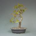Stieleiche, Quercus robur