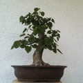 Winterlinde, Tilia cordata, bonsai-hassler.de