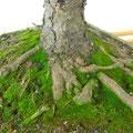 Serbische Fichte, Picea omorika, Nebari, Bonsai