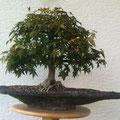Acer palmatum, Fächerahorn