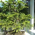 Serbische Fichte, Picea omorika, Rohling vor der Gestaltung, Bonsai