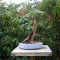 Flieder, Syringa vulgaris, Bonsai