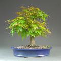 Fächerahorn, Acer palmatum, Austrieb Frühjahr, Bonsai