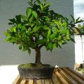 Weigelie, Weigelia, Bonsai, bonsai-hassler.de