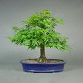 Fächerahorn, Acer palmatum, bonsai-hassler.de, Bonsai