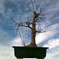 Fächerahorn, Acer palmatum, Winter, Bonsai