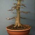 Hainbuche, Carpinus betulus, Rohling, Winter