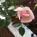 Rose, Rosa, Blüte, Bonsai, Rohling bonsai-hassler.de