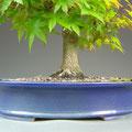 Fächerahorn, Acer palmatum, Nebari, Bonsai