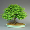 Jap. Zelkove, Zelkova serrata, Bonsai Solitär, Sommer, bonsai-hassler.de