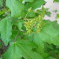 Acer campestre, Feldahorn, Blüte & Fruchtansatz