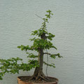 Hainbuche, Carpinus betulus, Rohling