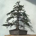Serbische Fichte, Picea omorika, Rohling nach der Gestaltung, bonsai-hassler.de, Bonsai