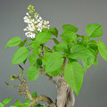 Flieder, Syringa vulgaris, Bonsai-Solitär, Blüte, bonsai-hassler