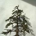 Serbische Fichte, Picea omorika, Rohling nach der Gestaltung, Bonsai