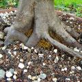 Hainbuche, Carpinus betulus, Nebari, Rohling