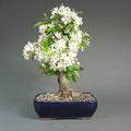 Malus, Zierapfel mit Blüten, bonsai-hassler.de
