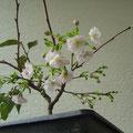 Prunus Accolade, Frühe Zierkirsche