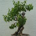 Flieder, Syringa vulgaris, Bonsai Rohling, bonsai-hassler