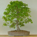Feldahorn, Acer campestre, Bonsai, bonsai-hassler.de