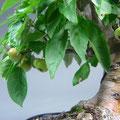 Malus, Zierapfel mit Äpfel, bonsai-hassler.de
