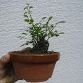 Rose, Rosa, Bonsai, Rohling bonsai-hassler.de