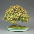 Jap. Zelkove, Zelkova serrata, Bonsai Solitär, Herbst, bonsai-hassler.de