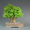Acer campestre, Feldahorn, Yamadori, bonsai-hassler.de