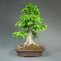 Hainbuche, Carpinus betulus, Bonsai, bonsai-hassler.de