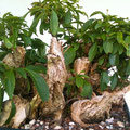 Forsythie, Forsythia, Bonsai, Rohling