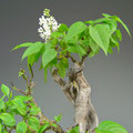 Flieder, Syringa vulgaris, Blüte, Bonsai-Solitär, bonsai-hassler