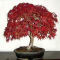 Acer palmatum, Fächerahorn im Herbstlaub