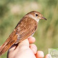 common nightingale (Luscinia megarhynchos) born last year