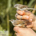Lesser Whitethroat (Sylvia curruca) and Common Whitethroat (Sylvia communis) males