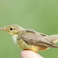 Melodious Warbler (Hippolais polyglotta) adulte male