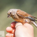 adult female common linnet (Carduelis cannabina)