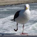 la danza del Seagull