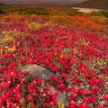 Flores de Alaska