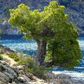 ciprés