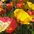 Papelillos o poppy