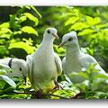 palomas cotorritas