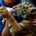 Tigre con mamadera