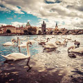 White Swans near Charles Bridge in Prague BY VIKTOR HANACEK