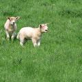 Corderos irlandeses