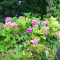 Hortensias Inglesas
