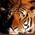 Tigre en reposo