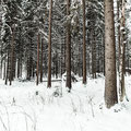 Pinos nevados